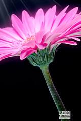 Macro (W_10) Tags: rosecolor flower gerberadaisy singleflower fullframe daisy springtime freshness nature horizontal closeup macro plant season flowerhead petal daisyfamily colorimage beautyinnature nopeople photography vibrantcolor fineart