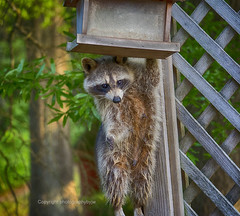 Just Hanging Out (Photographybyjw) Tags: photographybyjw racoon animal just hanging out grab bite bird seed raider rural country daylight foliage fence