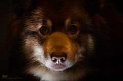 3/12/B tasku - mysterious (sure2talk) Tags: tasku finnishlapphund mysterious nikond7000 nikkor85mmf35gafsedvrmicro flash speedlight sb900 offcamera litfrombelow 117picturesin2017103mysterious 12monthsfordogs 12monthsfordogs17 312b