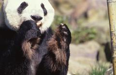 ZOO0470 (Akira Uchiyama) Tags: 動物たちのいろいろ 手 手ジャイアントパンダ