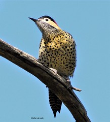 Green-barred Woodpecker (Colaptes melanochloros) (Canuck 07) Tags: nature animal bird colaptesmelanochloros