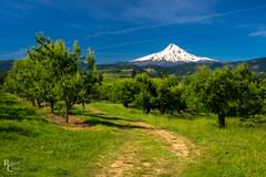 Mount Hood Springtime Orchards (RobertCross1 (off and on)) Tags: 1250mmf3563mzuiko cascaderange cascades em5 hoodriver hoodrivervalley mounthood omd or olympus oregon pacificnorthwest pinegrove agriculture apple bluesky fields forest glacier grass landscape mountain orchards pear snow trees