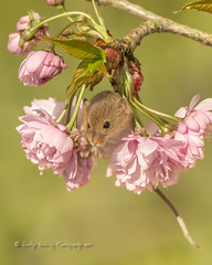 Harvest mouse (in the pink) (pixellesley) Tags: harvestmouse rodent mice tiny twitchy blossom spring micromysminutus lesleygooding wildlife mammal