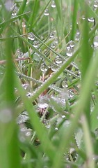 Early morning dew (markwilkins64) Tags: dew water droplet waterdroplets grass macro closeup