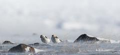 Snow Buntings in the winter storm (MatsOnni) Tags: pulmunen plectrophenaxnivalis snowbunting linnut birds winterstorm wind norway