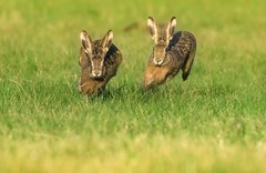 Finish (hardy-gjK) Tags: tiere mammals hasen rabbit hardy nikon finsh natur wildlife world of animals