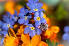 blue and orange  HMM! (tersha53) Tags: macromonday forgetmenot berbers orangeandblue flowers