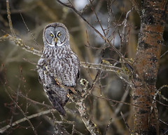 Among the Branches...{Explored} (DTT67) Tags: greatgrayowl great gray owl greaygray grayowl birds birdofprey perched wild wildlife nature nationalgeographic animals tree northamerica mn winter canon 500mmii 14xiii onone 1dxmkii