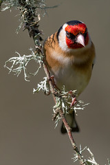 Goldfinch (Mr F1) Tags: goldfinch johnfanning nature wild outdoors colour detail hide clean dof