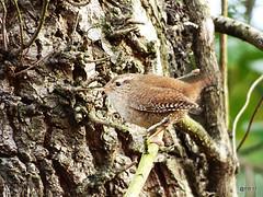 Wren  Troglodytes troglodytes (postman.pete) Tags: hwcp lumix park proxy spring tit wickedweasel april macro printemps wren troglodytes