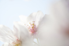 Color of April : Pink & White (Colorful-wind) Tags: 2017 april cherry color flower fujifilm fukuoka japan kitakyushu light lightandshadow macro nature softfocus softness white xt1