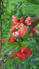 (Iggy Y) Tags: japonica chaenomeles spring blossom flowers red flower green leaves bush branch japanese quince japanska dunja japanskadunja day light