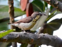 Sunbird (zeenatbayat) Tags: sunbird
