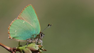 Green Hairstreak (explored)