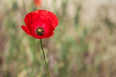 Le coquelicot (Elie RIVIERE) Tags: calme douceur emotion fleurs nature nikond500 tranquilité