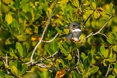 Just lookin' (ChicagoBob46) Tags: beltedkingfisher kingfisher bird florida bunchebeach ngc