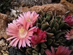 Aloinopsis spathulata hybrid DSC09093 (sierrarainshadow) Tags: aloinopsis spathulata hybrid