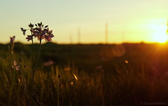 Flowers in evening light (Bould'Oche) Tags: fleur flowers sunset coucher soleil sky normandy normandie champ field sony alpha 58 thomas maheut photographies