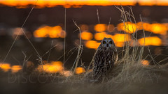 Short-eared owl (Larsenio) Tags: owl owls birds view explore ilovenorway ilovelandscapes winter wildlife waves weather water birding bird andøy arctic andenes andøya animals pentax pentaxk5 portrait pentaxian portraiture norway norge north norvege norwegen nordic northern norsk nordland northernnorway norwegian nordnorsk norvegen nordisk discover sea seascape scandinavia europe ocean world worldwide worldshots