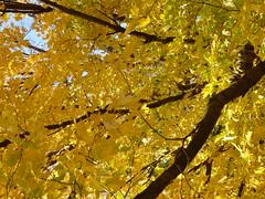 Wheaton, IL, Herrick Lake Forest Preserve, Yellow Maple Leaves (Mary Warren (8.2+ Million Views)) Tags: wheatonil herricklakeforestpreserve fall nature flora leaves foliage yellow maple tree