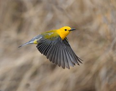 Prothonotary Warbler in Flight (KoolPix) Tags: prothonotarywarbler warbler bird beak feathers wings koolpix jaykoolpix naturephotography jay nature wildlife wildlifephotos naturephotos naturephotographer animalphotographer wcswebsite nationalgeographic fantasticnature amazingnature wonderfulbirdphotos animal amazingwildlifephotos fantasticnaturephotos incrediblenature mothernature flight flying