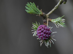 pine blossom (Irena Rihova) Tags: bloom blossom pine tree forest woods nature