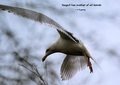 WBY0853-20 7D2-100 Seagull has mother of all bombs (wbyoungphotos) Tags: bird birds motherofallbombs bombs mother seagull wings wbyoungphotos