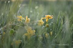 Vorst aan de grond/Freezing morning (roelivtil) Tags: calthapalustris dotterbloemen kingcup marshmarigold bokeh