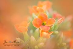 Orange (Jas Bassi) Tags: jas jasbassi jasbassiphotography jassi nikon nikon105mm nikond800e nikond4 nikcolorefexpro photography photoshop pscs6 orange springflowers spring