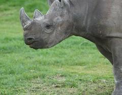 Day Out!! Helen and Isabella,Oliver....Grandad Burling!!! 05.04 351 (SnapAndy1512) Tags: dayouthelenandisabellaolivergrandadburling0504 yorkshire yorkshirewildlifepark rhino blackrhino animals zoo
