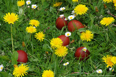 Happy Easter (Natali Antonovich) Tags: easter faithhopelove faith religion eggs eastereggs flowers dandelions daisies nature belgium tradition