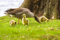 Family (Dirk Hoffmann Fotografie) Tags: graugänse graugans gans kücken kuecken junges wild life wildlife nature bird gössel animal