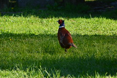 fagiano (kyry2010) Tags: fagiano fasan pheasant uccello bird animal animale birdwatching