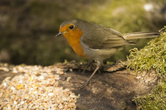 ROBIN (_jypictures) Tags: robin birdphotography bird birds birdwatching birdingphotography birding birders animalphotography animals animal canon7d canon canonphotography wildlife wildlifephotography wiltshire nature naturephotography