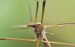 Alien III (schreibtnix on'n off) Tags: deutschland germany bergisch gladbach natur nature tiere animals insekten insects schnaken daddylonglegs kohlschnake cranefly tipulaoleracea nahaufnahme closeup makro macro olympuse5 schreibtnix