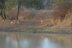 Impala visiting waterhole - Thornybush - South Africa (stevelamb007) Tags: africa southafrica thornybush impala waterhole stevelamb nikon d70s