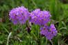 Примула холодная – Primula algida Adams