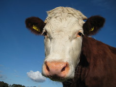 Delta Suprice from the archive (excellentzebu1050) Tags: cow dairycows cattle closeup animals animalportraits farm outdoor heifer livestock