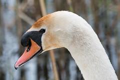 Mute swan (Shane Jones) Tags: muteswan swan bird beak wildlife nature nikon d500 200400vr tc14eii