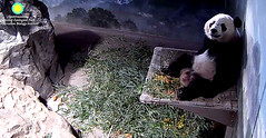 Hi dere fwends.   ./rg802.png (heights.18145) Tags: smithsoniansnationalzoo beibei meixiang panda animals ccncby
