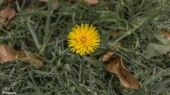 Taraxacum Officinale (J.- K.) Tags: ilca68 sony flor taraxacum officinale naturaleza hdr
