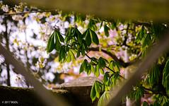 Through A Fence! (BGDL) Tags: lightroomcc nikond7000 afsnikkor55200mm1456g bgdl fence garden leaves blossom framing weeklytheme