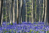 Bluebell carpet (lingundus) Tags: blue bell bluebell hallerbos tree forest belgium halle brussels carpet flower light dog prime zeiss 85mm hyacinthoides nonscripta platinumheartaward