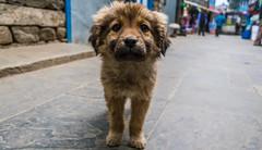IMG_0752 (troyhulm) Tags: puppy dog street cute animal baby nepal