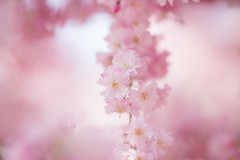 made in heaven (qrsk) Tags: flower blossom cherryblossom spring pink misty nature ヤエベニシダレ 桜 八重桜 枝垂れ桜 自然 ピンク 霞 春
