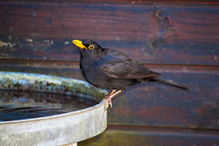 Blackbird (Andy Hay) Tags: 2017 backgarden bird blackbird lightroom lytham england unitedkingdom