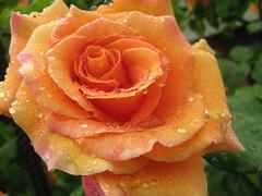 IMG_5265 (spartano2010 - Spring has now arrived !!!) Tags: rosa fiore arancio petali giardino foglie verde gocce pioggia