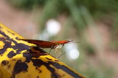 Borboleta bairro São João JM - Wir Caetano - 26 04 2017 (34) (dabliê texto imagem - Comunicação Visual e Jorn) Tags: borboleta inseto amarelo escada ferrugem