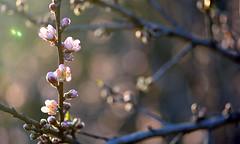 Peach Flambe (Lala Lands) Tags: peachblossoms prunuspersica springeveninglight nofrostpeaches communitygardens bokeh shallowdof nikkor105mmf28 nikond7200 floweringtrees fruittrees