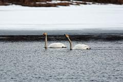 Laulujoutsenpariskunta / Whooper Swan Couple (Tuomo Lindfors) Tags: iisalmi suomi finland myiisalmi dxo filmpack lintu bird joutsen laulujoutsen whooperswan paloisjärvi vesi water